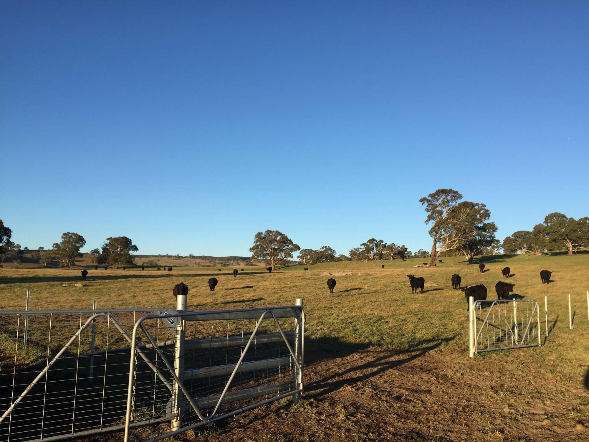 Aberbaldie cattle