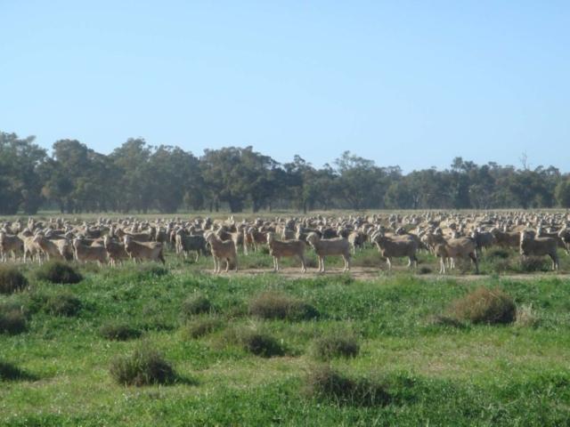 Bormabil sheep
