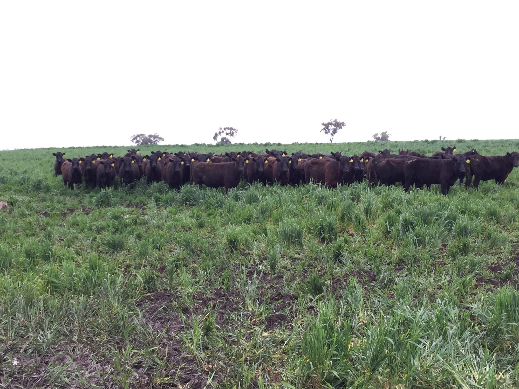 Burmah cattle