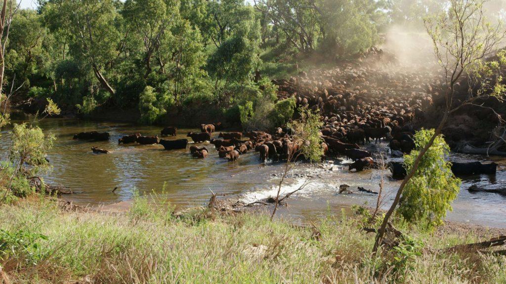Clonagh cattle