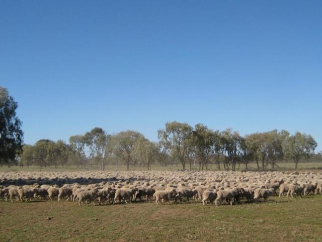 Merrimba sheep