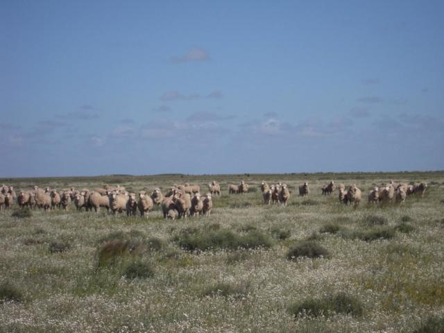 Mungadal sheep