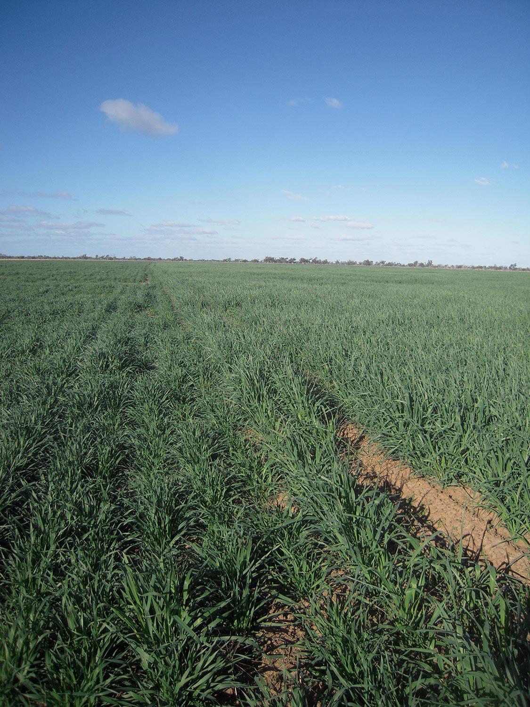 Oxley crop