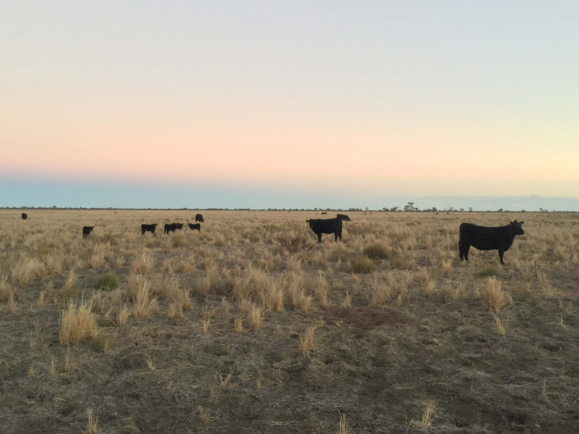 Oxley cattle