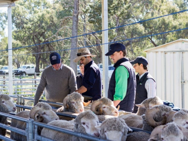 Pooginook sheep