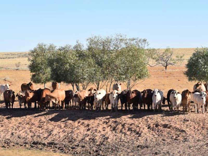 Tanbark cattle, Paraway Pastoral Co